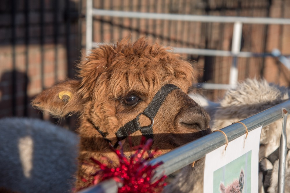 Alpacas Christmas Market Leiston Suffolk
